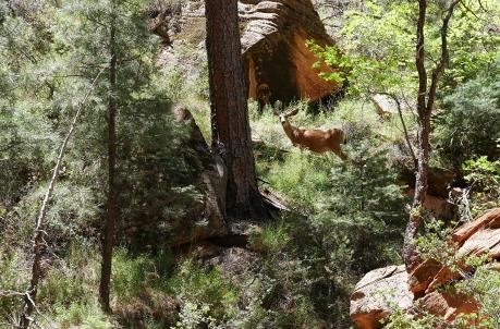 """Das ist ein """"Mule Deer"""", heißt so, weil es so lange Ohren wie ein Maultier hat. Kann aber auch gut klettern."""
