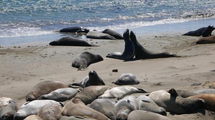 Seeelefantenstreit