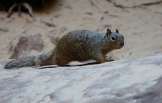 Rock Squirrel, echt überall.