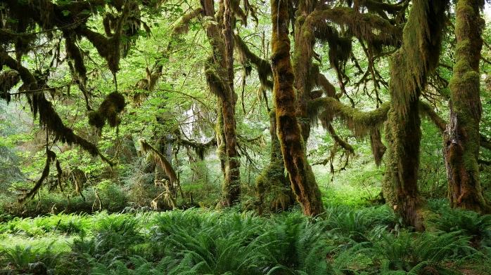 Hoh Regenwald