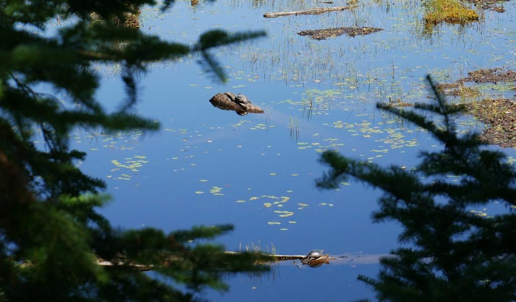 Algonquin Turtles